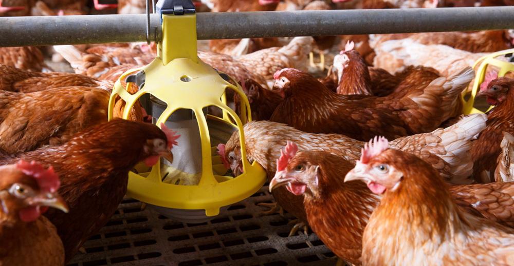 USDA прогнозує рекордний експорт курятини з України в 2019 році